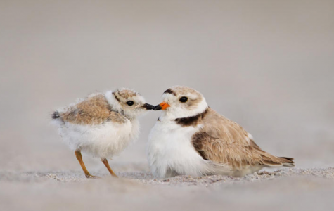 This picture from the National Audubon Society shows a downy young and breeding adult piping plover.