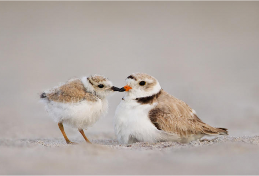 OPINION: Protect the Piping Plover